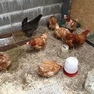 ChickMan22