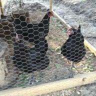 chickmom12