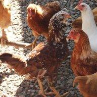 lovemychickens9
