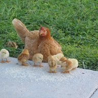 Chicks and Hens