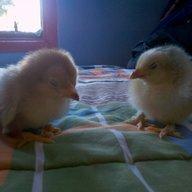 babychickens2