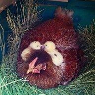 chickenlady07