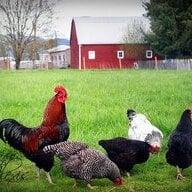 chickenlady772