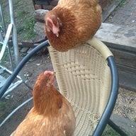 Chicken-whisper
