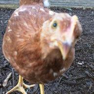 ChicksNquail