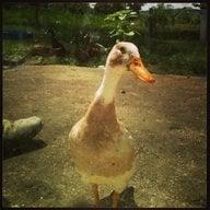 DuckMomma6