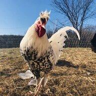 ChickenLittlez