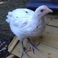 chickenninny