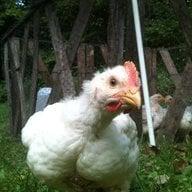 ChickieKat