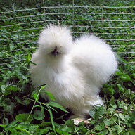 Silkie Mad