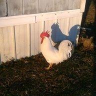 chicken-lady13