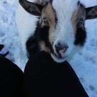 goats rule 101