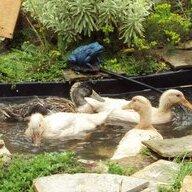 duck newbie