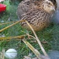 quailswiss