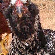 chicknma