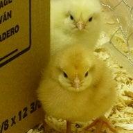 ChickensInHugo