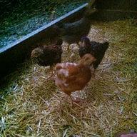 MLchickens