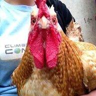 Cocky-2012