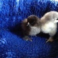 Parkland Chicks
