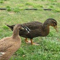 Ducklin Ducklin