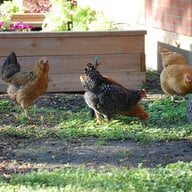 mayer chickens
