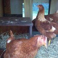 egglady115