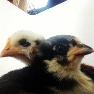 chickenrookie1