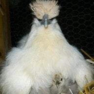 Chickens9393