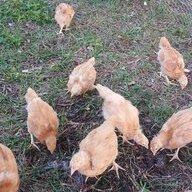 ChickChick Nana