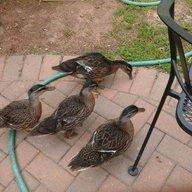 DuckVenture