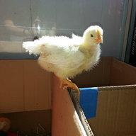 Chickncrazymama