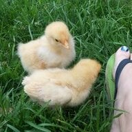 chick peeps