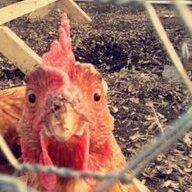 Chickendigger