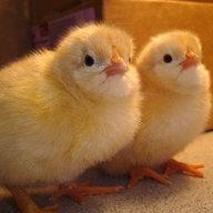 Buff Chicks