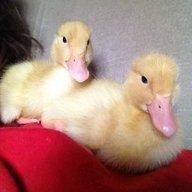 Duckmudda