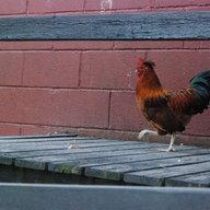 ChickenWannabe