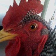 chickchickduck