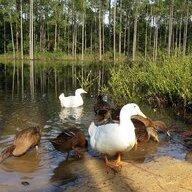 Duck mama