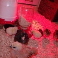 Pamperedpullets