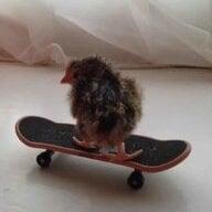 chickwatcher1