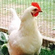 4 Happy Hens