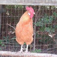 RoostingRooster