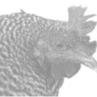 Freckled Hen