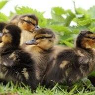 FluffyDucks