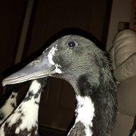This just Ducks