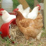 ChickenChick777