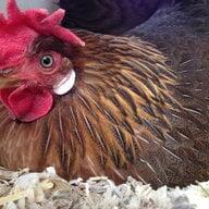 cmchickens