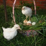 4 Love of Baby Chickens