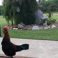 ChickenGam