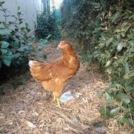 ChickensARGreat